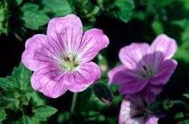 Geranium riversleaianum \'Mavis Simpson\'