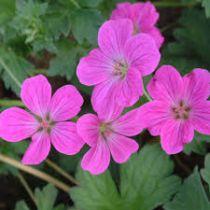 Geranium riversleaianum \'Russel Prichard\'