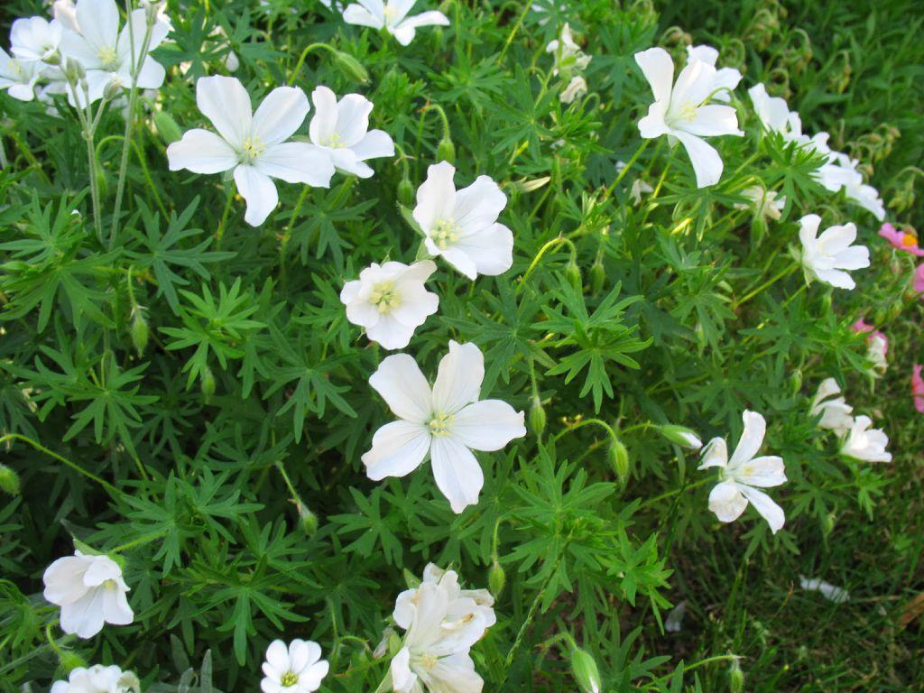 geranium sanguineum album grandiflora. Black Bedroom Furniture Sets. Home Design Ideas