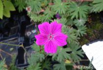 Geranium sanguineum \'Tiny Monster\'