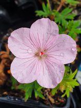 Geranium sanguineum \'Vision Rose\'