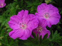 Geranium sanguineum \'Vision Violet\'