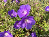 Geranium wallichianum \'Azure Rush\'