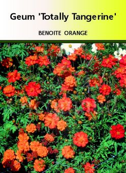 Geum \' Totally Tangerine \'