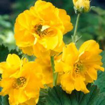 Geum chiloense \'Lady Stratheden\'
