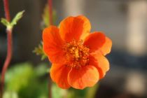 Geum coccineum \'Koi\' orange