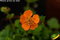 Geum coccineum \'Koi\' orange
