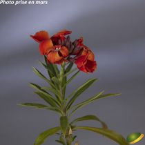 Giroflée fleur d\'hiver P9