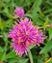 Gomphrena truffula Pink