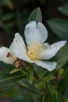 Gordonia chrysandra, arbuste persistant vert aux fleurs blanc-crème parfumées en fin d\'hiver.