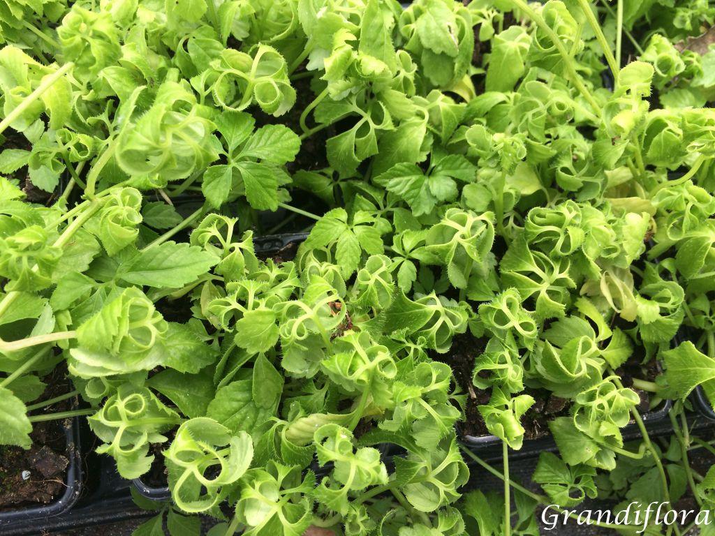 Gynostemma pentaphyllum - Herbe de l\'immortalité