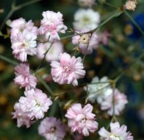 Gypsophila* pacifica