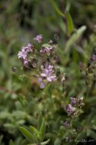 Gypsophila* repens \'Rosea\'