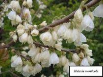 Halesia monticola \'Mountain Snowbell\'