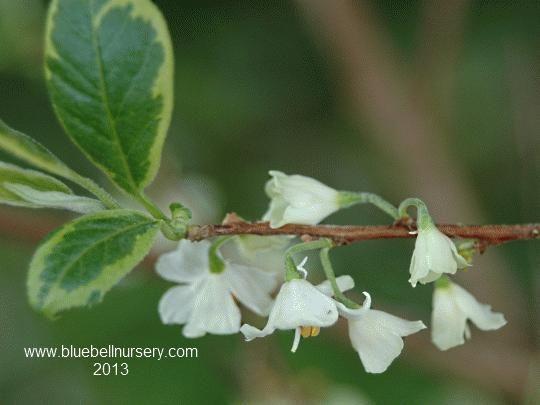Halesia monticola \'Variegata\'