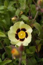 Halimiocistus wintonensis \'Merrist Wood Cream\'