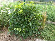 Hedera* helix \'Arborescens Nana\'