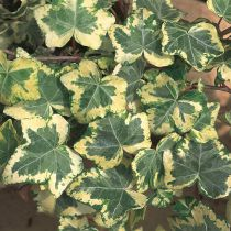 Hedera* helix \'Golden Light\'