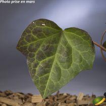 Hedera algeriensis Selection équiv. B. (Tapissant)