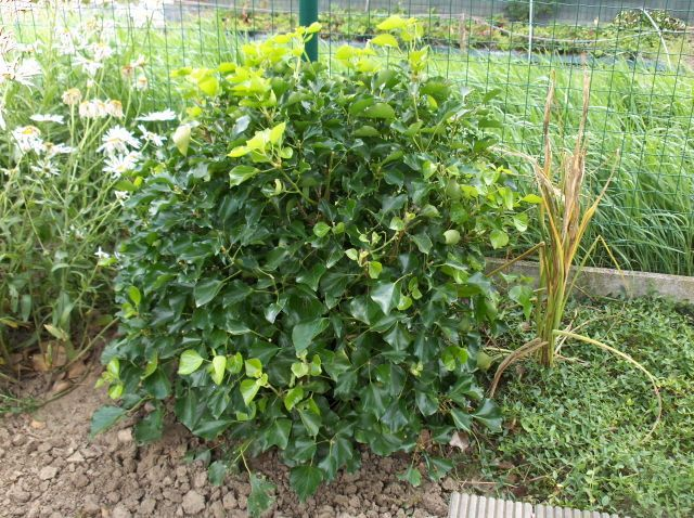Hedera helix \'Arborescens Nana\'