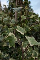 Hedera helix Goldchild, lierre aux feuilles persistantes vert bleuté bordé de jaune crème.