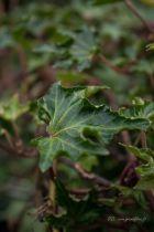 Hedera helix \'Ivalace\' ou lierre à petites feuilles vertes. Lierre grimpant à petit développement