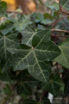 Hedera helix ou lierre vert. Plante grimpante à feuille verte