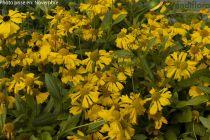 Helenium pumilum \'Magnificum\'