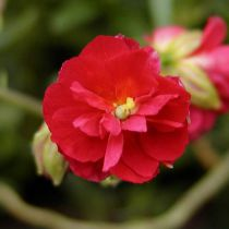 Helianthemum \'Cerise Queen\'