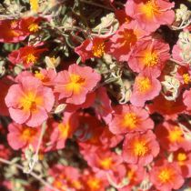 Helianthemum \'Heinfield Brillant\'