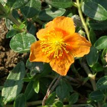 Helianthemum \'Honeymoon\'
