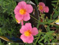Helianthemum \'Lawrenson\'s Pink\'