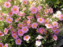 Helianthemum \'Mutabile Mix\'