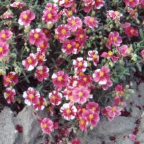 Helianthemum \'Raspberry Ripple\'