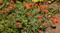 Helianthemum hybride \'Fire Dragon\'