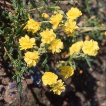 Helianthemum hybride \'Golden Queen\'