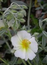 Helianthemum hybride The bride (Snow Queen)