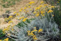 Helichrysum * italicum \'Serotinum\'