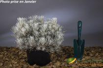 Helichrysum stoechas \'Silverball\'