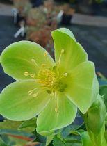 Helleborus argutifolius \'Green Dwarf\'