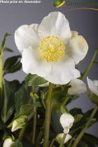 Helleborus HGC 'Diva'®<br /> Hellebore HGC 'Diva'®<br /> Rose de Noël