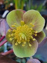 Helleborus lividus 'Pink Marble'<br /> Hellebore lividus 'Pink Marble'<br /> Rose de Noël
