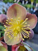 Helleborus lividus Pink<br /> Hellebore lividus Pink<br /> Rose de Noël