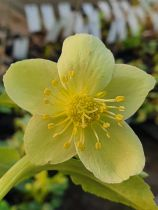 Helleborus lividus White<br /> Hellebore lividus White<br /> Rose de Noël