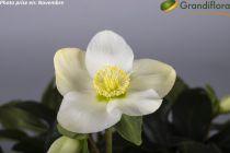 Helleborus niger 'Mont Blanc'<br /> Hellebore niger 'Mont Blanc'<br /> Rose de Noël