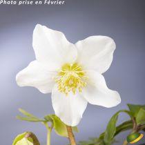 Helleborus niger 'Praecox'<br /> Hellebore niger 'Praecox'<br /> Rose de Noël