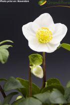Helleborus niger<br /> Hellebore niger<br /> Rose de Noël