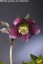 Helleborus orientalis 'Blue Lady'<br /> Hellebore orientalis 'Blue Lady'<br /> Rose de Noël
