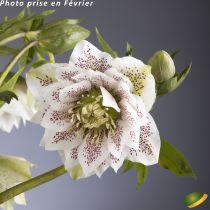 Helleborus orientalis 'Cinderella'<br /> Hellebore orientalis 'Cinderella'<br /> Rose de Noël