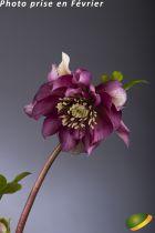 Helleborus orientalis 'Double Ellen Red'<br /> Hellebore orientalis 'Double Ellen Red'<br /> Rose de Noël